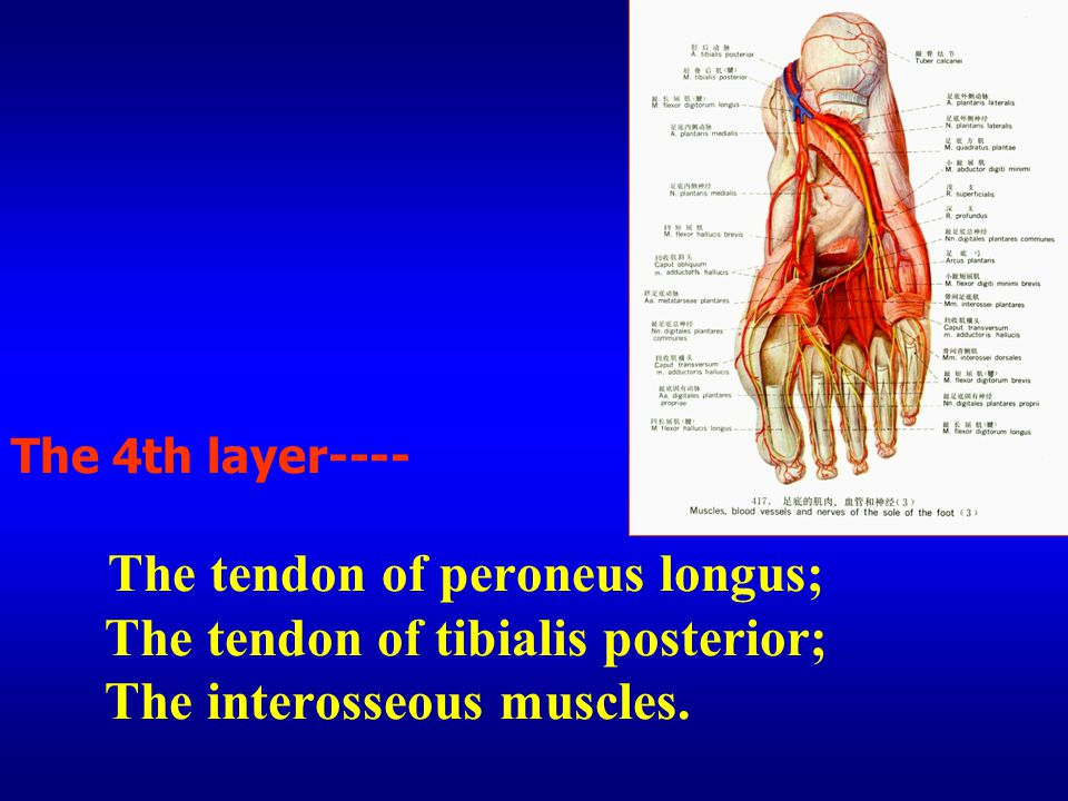 The 4th layer---- The tendon of peroneus longus; The tendon of tibialis posterior; The interosseous muscles.