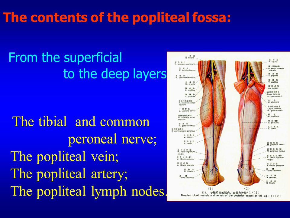 The contents of the popliteal fossa: From the superficial to the deep layers The tibial and common peroneal nerve; The popliteal vein; The popliteal a
