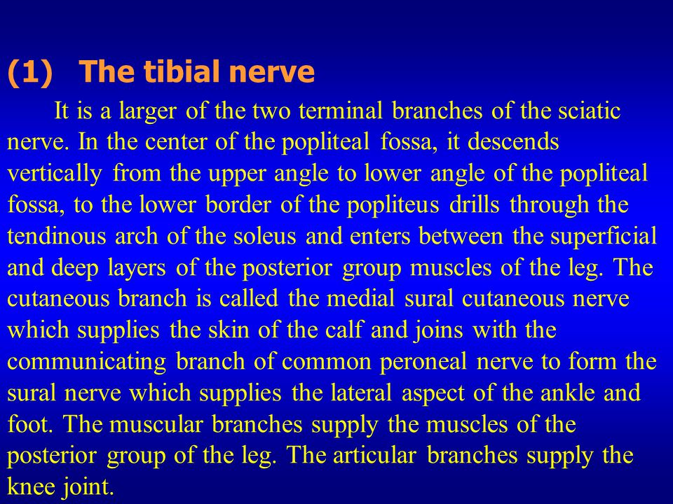 (1) The tibial nerve It is a larger of the two terminal branches of the sciatic nerve. In the center of the popliteal fossa, it descends vertically fr