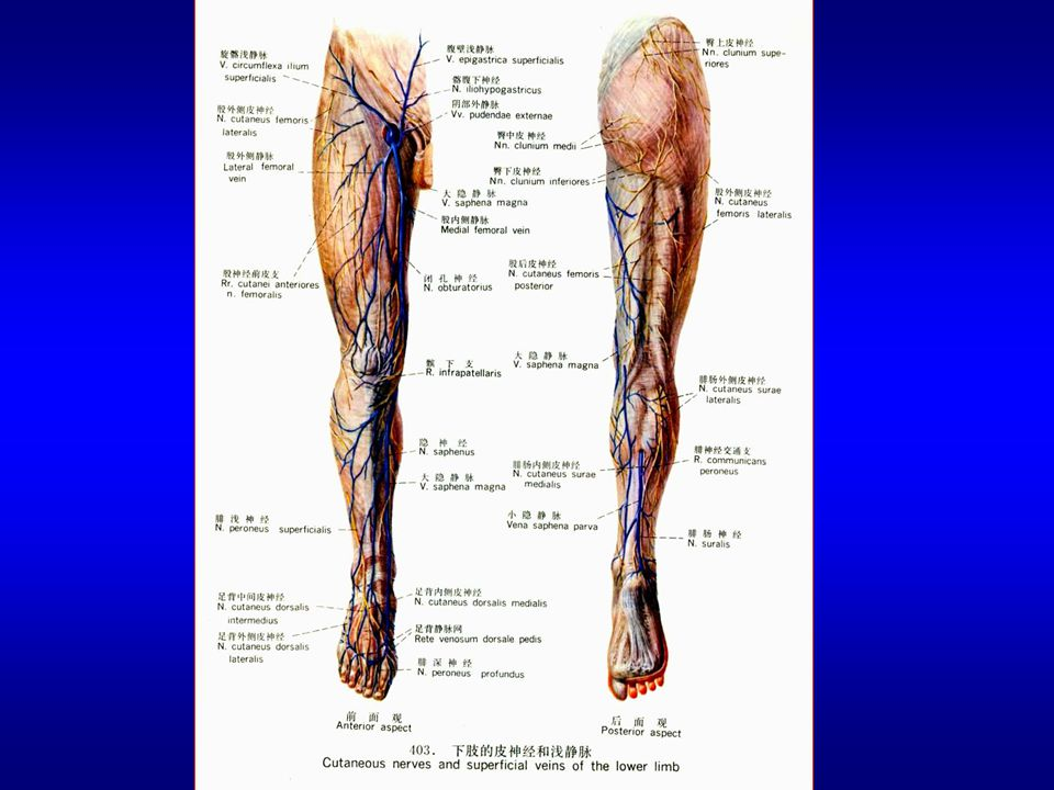 (1) The tibial nerve It is a larger of the two terminal branches of the sciatic nerve.