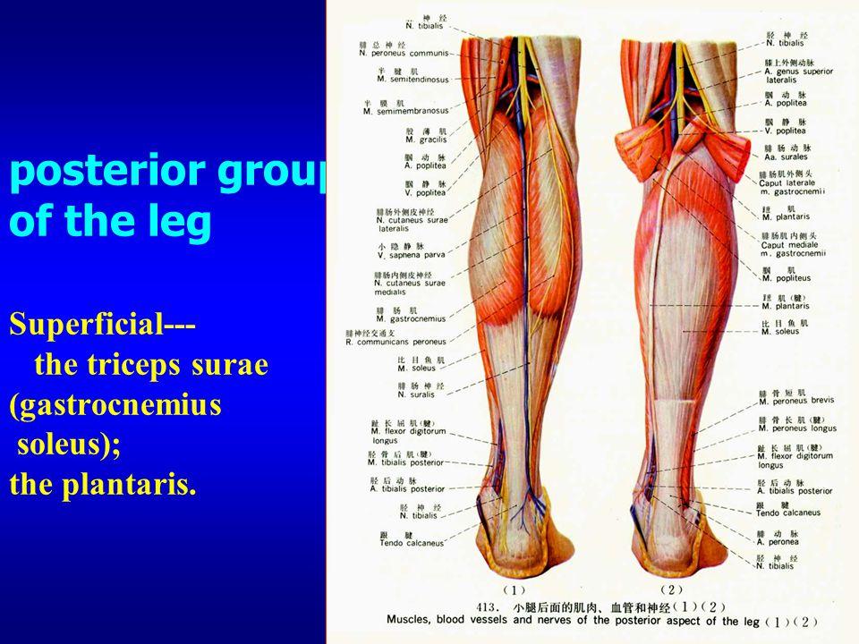posterior group of the leg Superficial--- the triceps surae (gastrocnemius soleus); the plantaris.