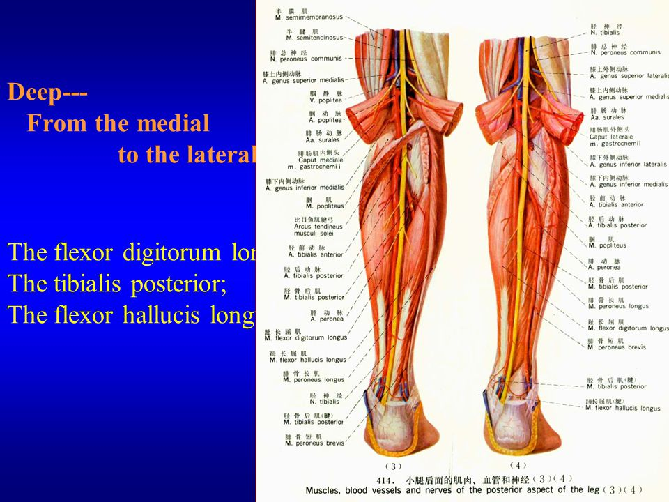 (5) The popliteal lymph nodes They are placed along the sheath of popliteal vessels and 4-5 in number.