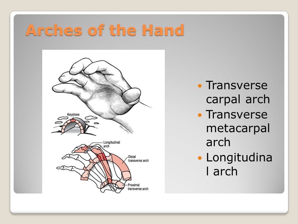 Arches of the Hand Transverse carpal arch Transverse metacarpal arch Longitudina l arch