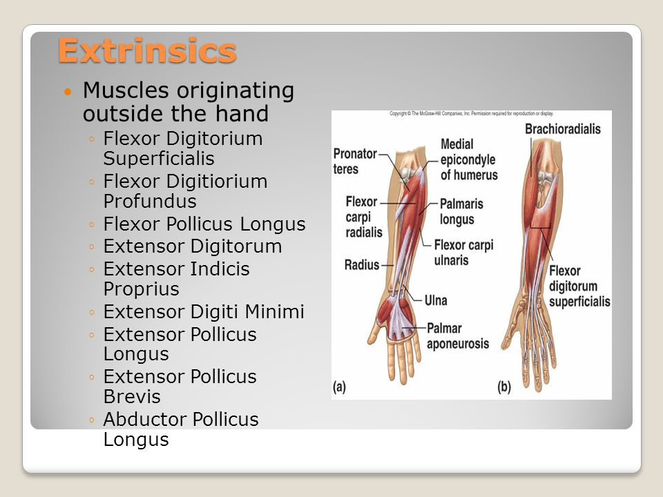 Intrinsics Four Lumbricals Three Palmar Interossei Four Dorsal Interossei Thenar muscles ◦Opponens Pollicus ◦Abductor Pollicus Brevis ◦Adductor Pollicus ◦Flexor Pollicus Brevis