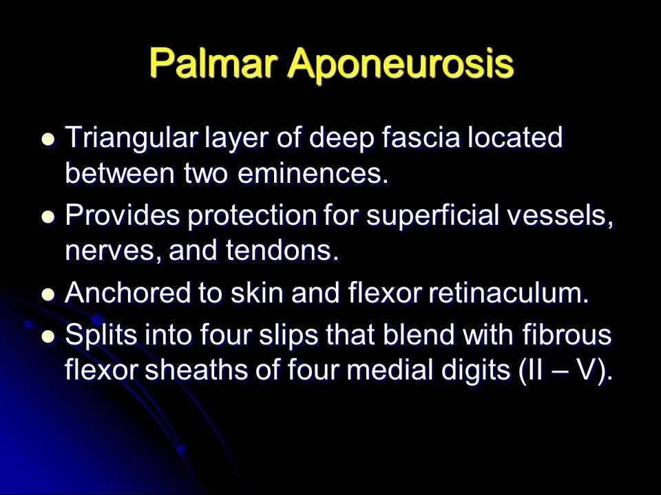 Palmar Aponeurosis Triangular layer of deep fascia located between two eminences. Triangular layer of deep fascia located between two eminences. Provi