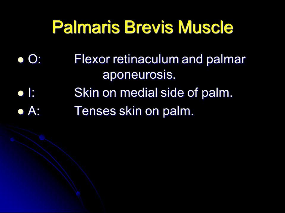 Palmaris Brevis Muscle O:Flexor retinaculum and palmar aponeurosis. O:Flexor retinaculum and palmar aponeurosis. I:Skin on medial side of palm. I:Skin