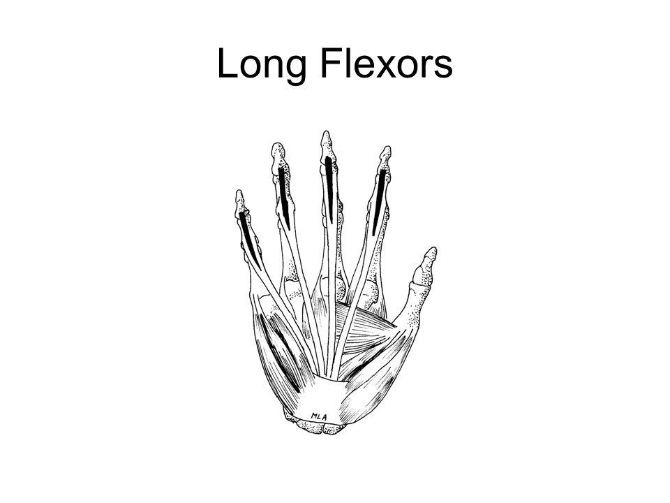 Long Flexors