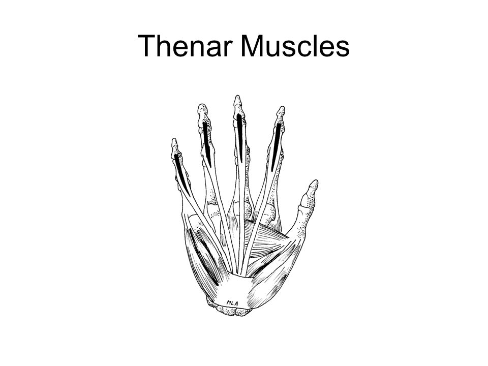 Thenar Muscles