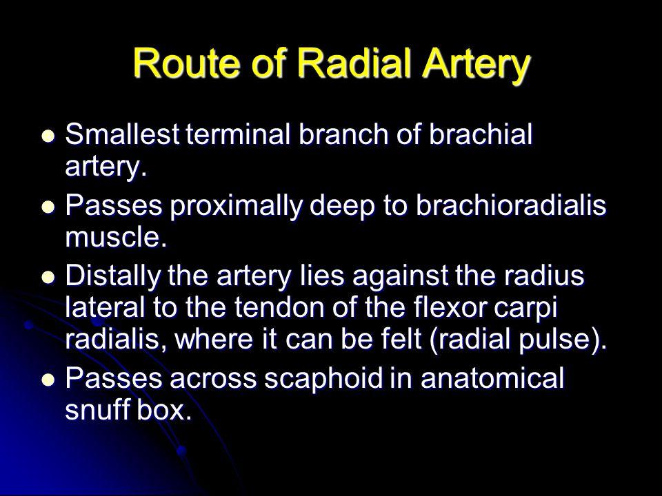 Route of Radial Artery Smallest terminal branch of brachial artery. Smallest terminal branch of brachial artery. Passes proximally deep to brachioradi