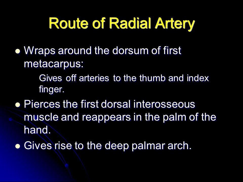 Route of Radial Artery Wraps around the dorsum of first metacarpus: Wraps around the dorsum of first metacarpus: Gives off arteries to the thumb and i