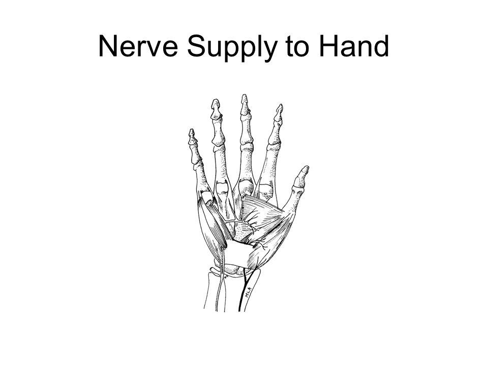 Nerve Supply to Hand