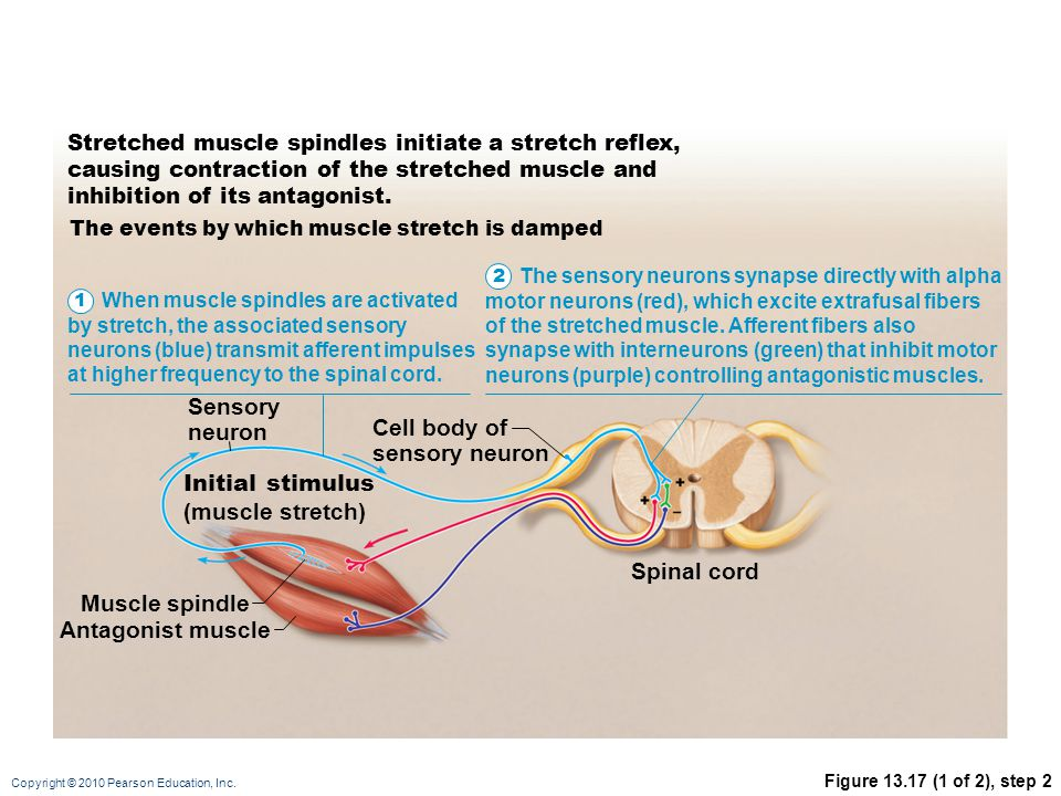 Copyright © 2010 Pearson Education, Inc. Figure 13.17 (1 of 2), step 2 Stretched muscle spindles initiate a stretch reflex, causing contraction of the