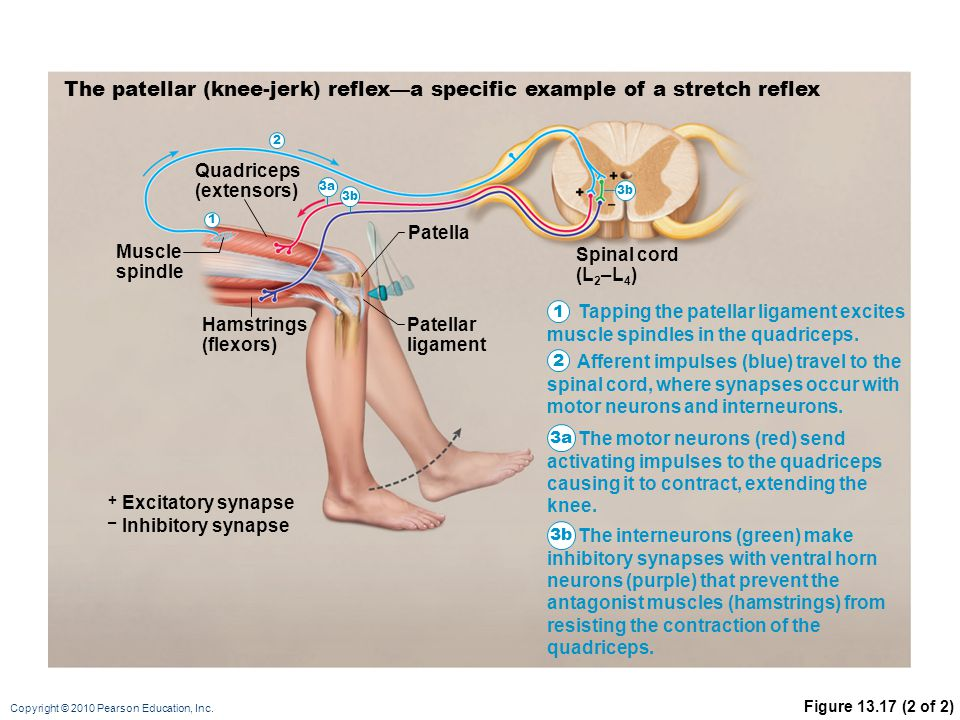 Copyright © 2010 Pearson Education, Inc. Figure 13.17 (2 of 2) The patellar (knee-jerk) reflex—a specific example of a stretch reflex Muscle spindle Q