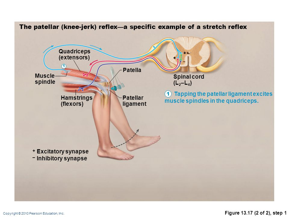 Copyright © 2010 Pearson Education, Inc. Figure 13.17 (2 of 2), step 1 The patellar (knee-jerk) reflex—a specific example of a stretch reflex Muscle s