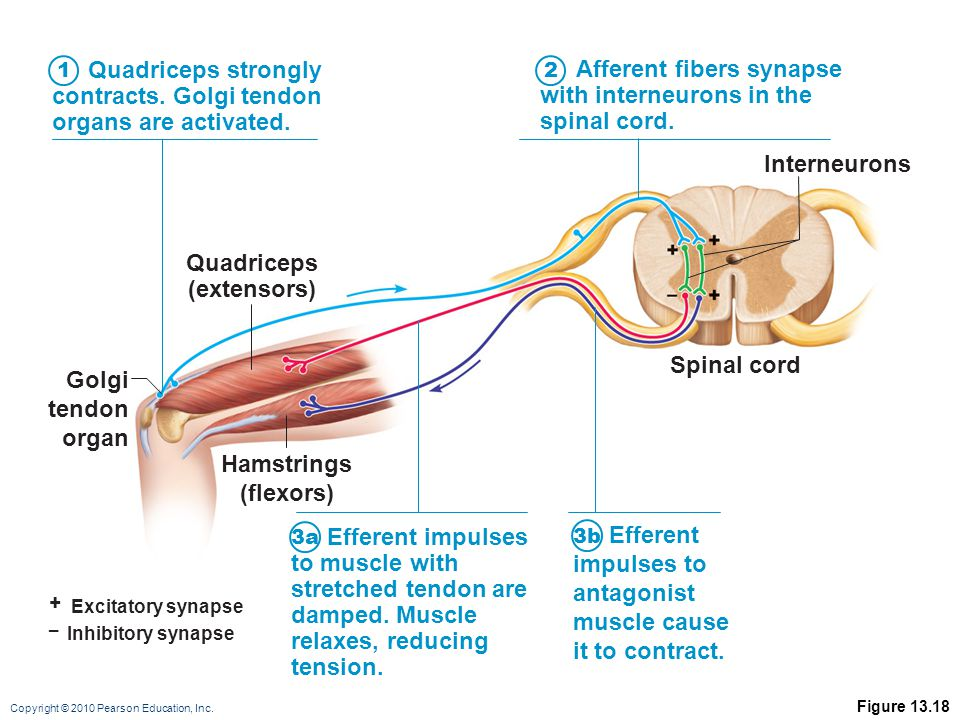 Copyright © 2010 Pearson Education, Inc. Figure 13.18 + Excitatory synapse – Inhibitory synapse Quadriceps strongly contracts. Golgi tendon organs are