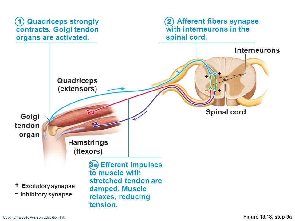 Copyright © 2010 Pearson Education, Inc. Figure 13.18, step 3a + Excitatory synapse – Inhibitory synapse Quadriceps strongly contracts. Golgi tendon o