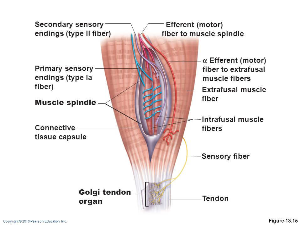Copyright © 2010 Pearson Education, Inc. Figure 13.15 Secondary sensory endings (type II fiber) Efferent (motor) fiber to muscle spindle Primary senso