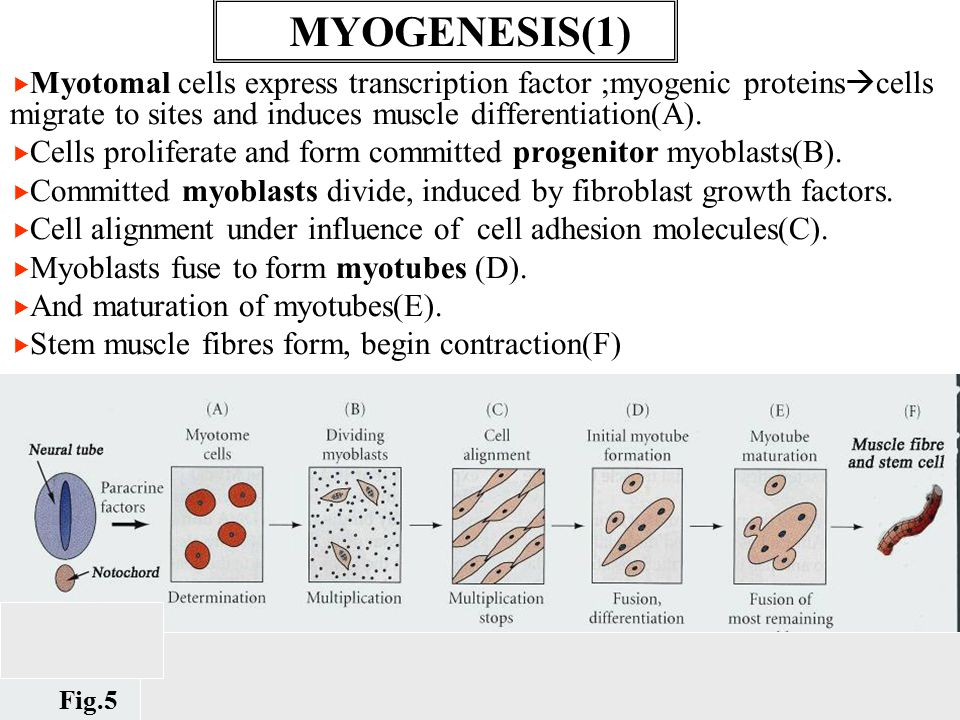   Myotomal cells express transcription factor ;myogenic proteins  cells migrate to sites and induces muscle differentiation(A).