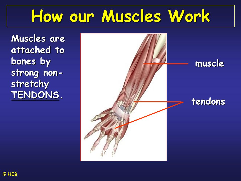 © HEB How our Muscles Work Muscles are attached to bones by strong non- stretchy TENDONS.
