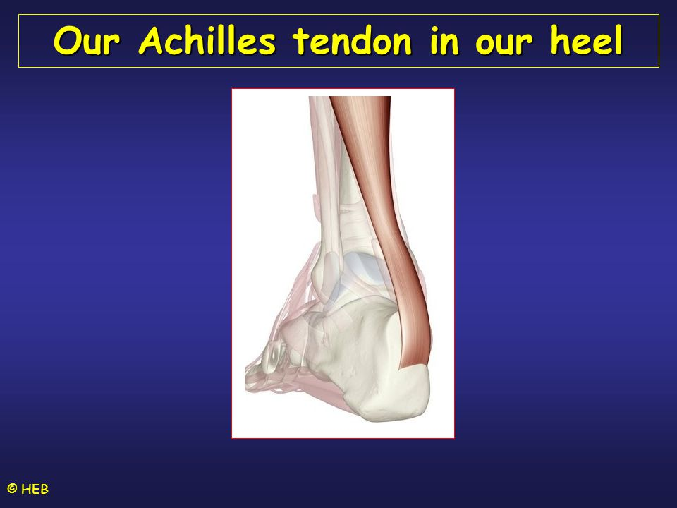 © HEB Our Achilles tendon in our heel