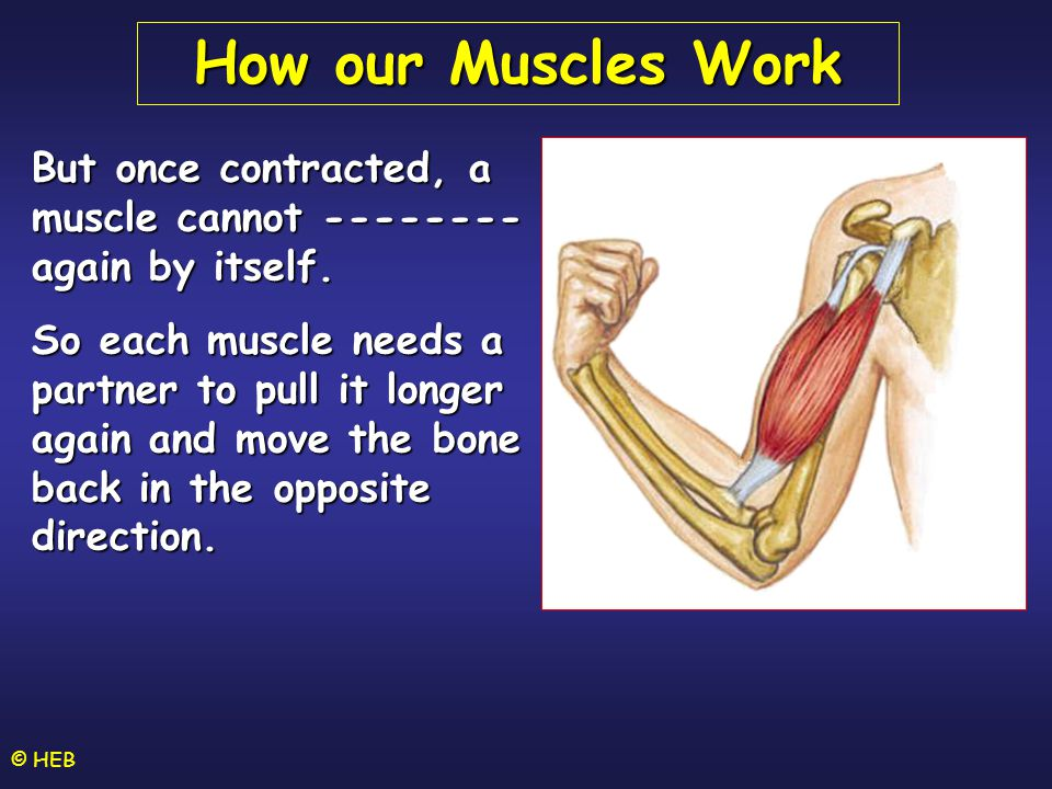 © HEB But once contracted, a muscle cannot -------- again by itself.