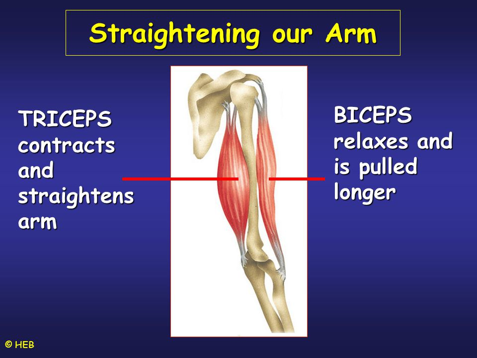 © HEB Straightening our Arm BICEPS relaxes and is pulled longer TRICEPS contracts and straightens arm