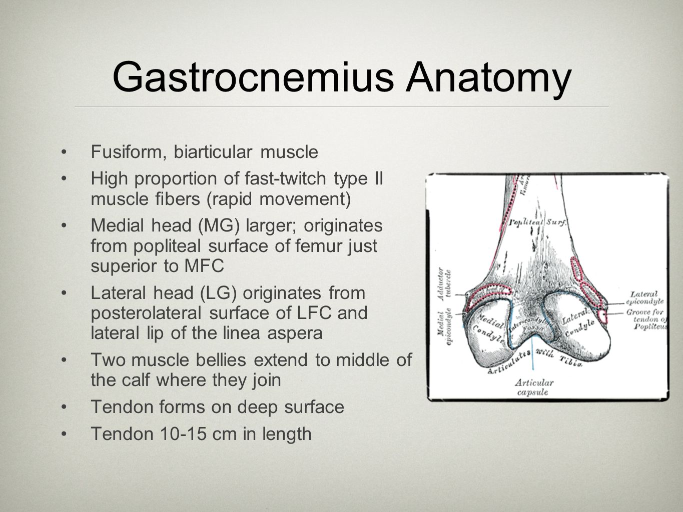 Gastrocnemius Anatomy Fusiform, biarticular muscle High proportion of fast-twitch type II muscle fibers (rapid movement) Medial head (MG) larger; origi