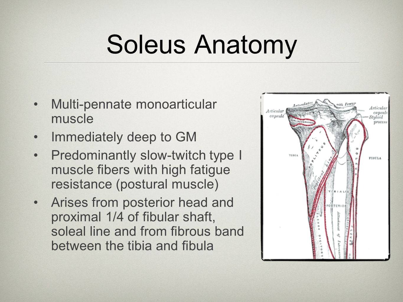 Plantaris Variable size Absent in 6% to 8% Origin from the popliteal surface of the femur above the lateral femoral condyle Muscle belly 5 to 10 cm in length, with a long tendon that extends distally between the gastrocnemius and soleus muscles Inserts: medial border of the Achilles tendon, calcaneus or flexor retinaculum Tendon may rupture Tendon may be used as a tendon graft in Achilles reconstruction