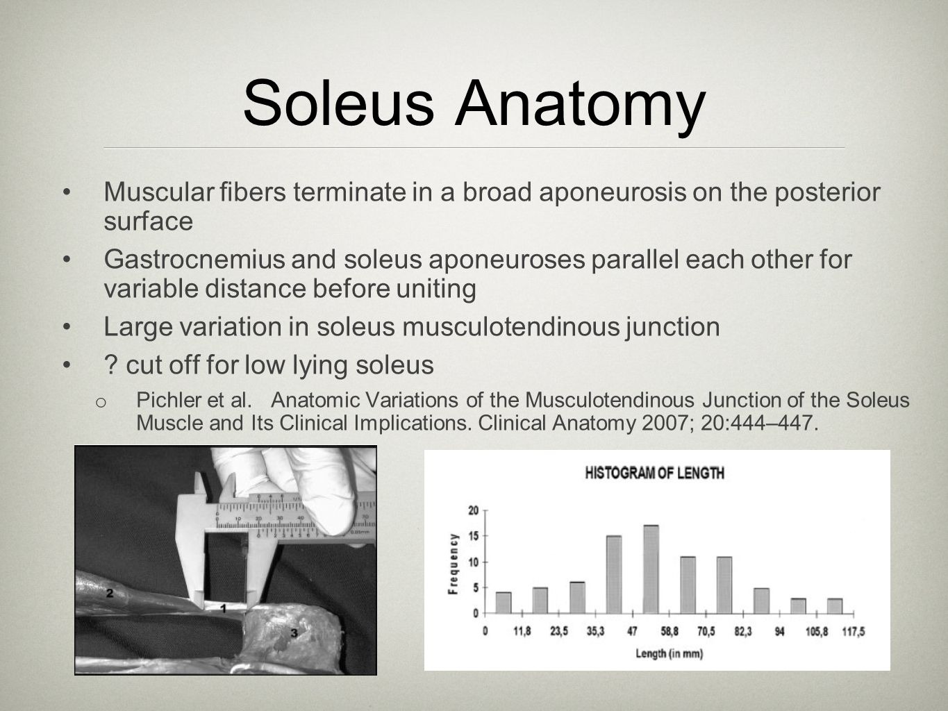 Soleus Anatomy Muscular fibers terminate in a broad aponeurosis on the posterior surface Gastrocnemius and soleus aponeuroses parallel each other for v