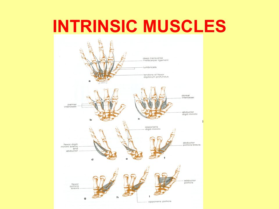 INTRINSIC MUSCLES