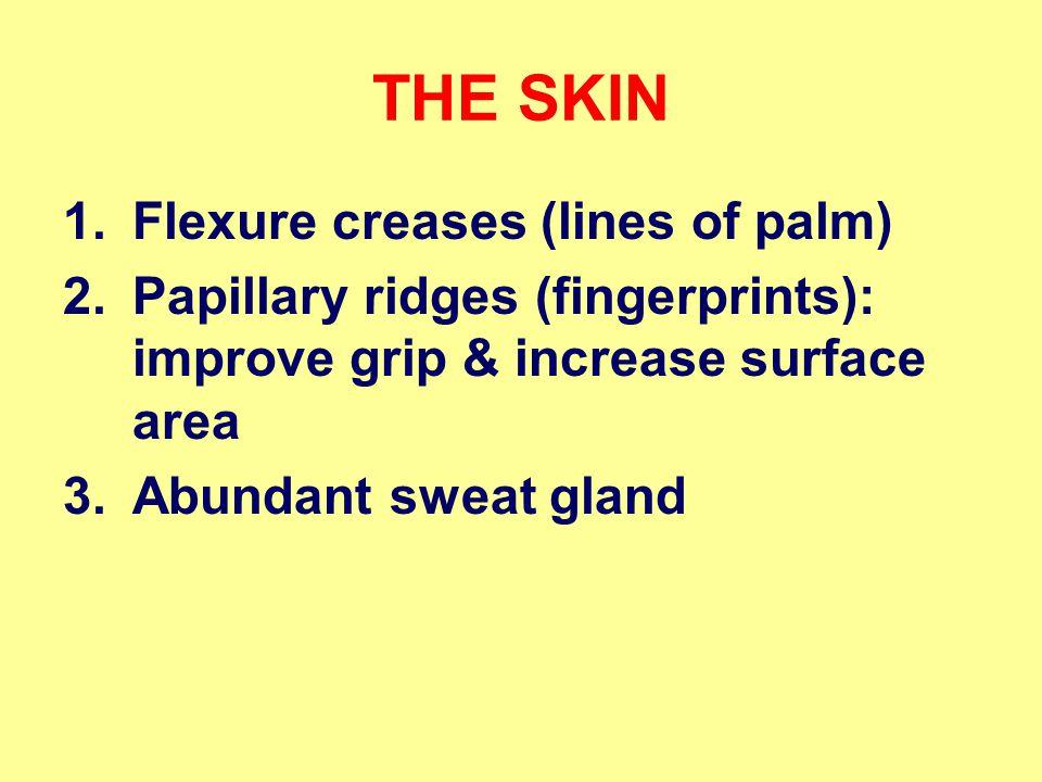 THE SKIN 1.Flexure creases (lines of palm) 2.Papillary ridges (fingerprints): improve grip & increase surface area 3.Abundant sweat gland