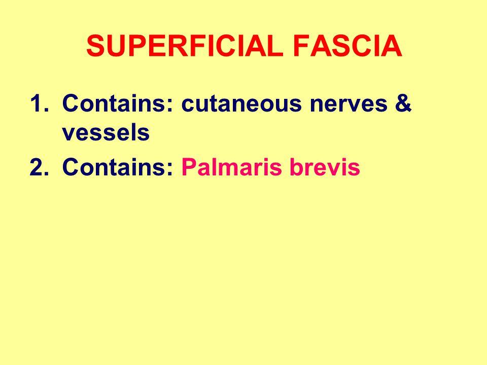 SUPERFICIAL FASCIA 1.Contains: cutaneous nerves & vessels 2.Contains: Palmaris brevis