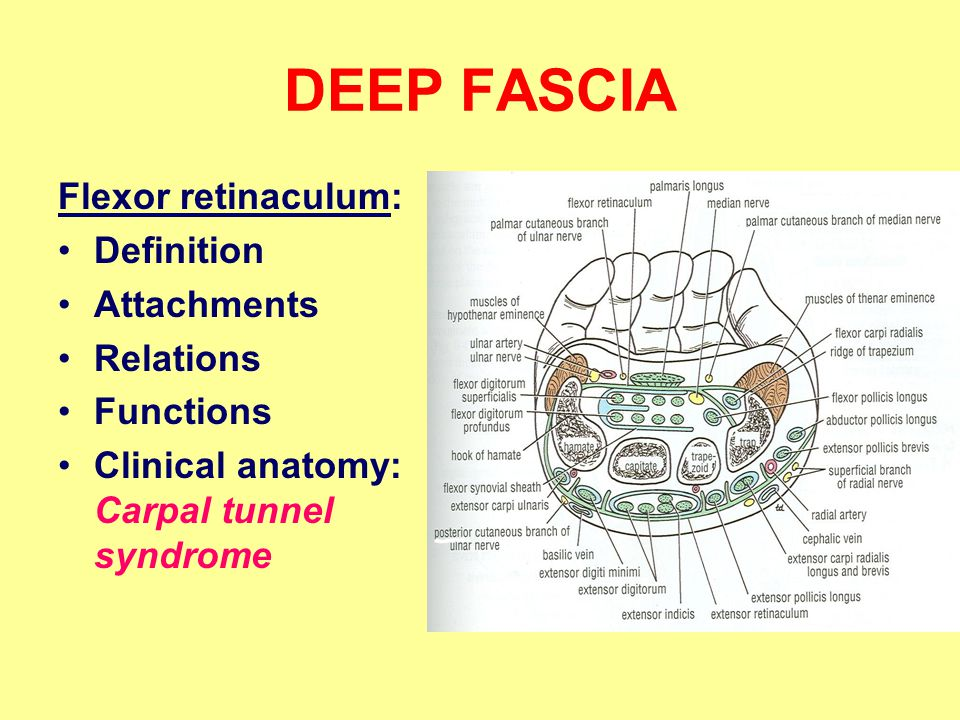 DEEP FASCIA Flexor retinaculum: Definition Attachments Relations Functions Clinical anatomy: Carpal tunnel syndrome