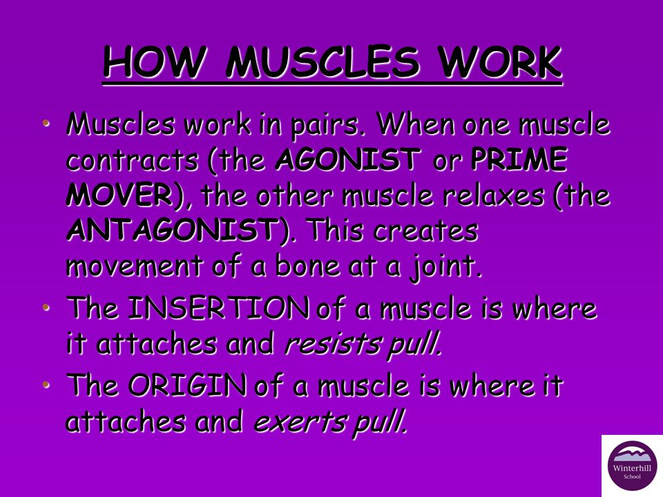 HOW MUSCLES WORK A Bicep Curl in the ArmA Bicep Curl in the Arm The bicep would be the prime mover/agonist.The bicep would be the prime mover/agonist.