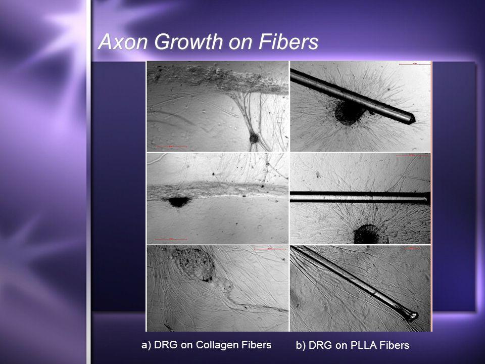 Axon Growth on Fibers a) DRG on Collagen Fibers b) DRG on PLLA Fibers