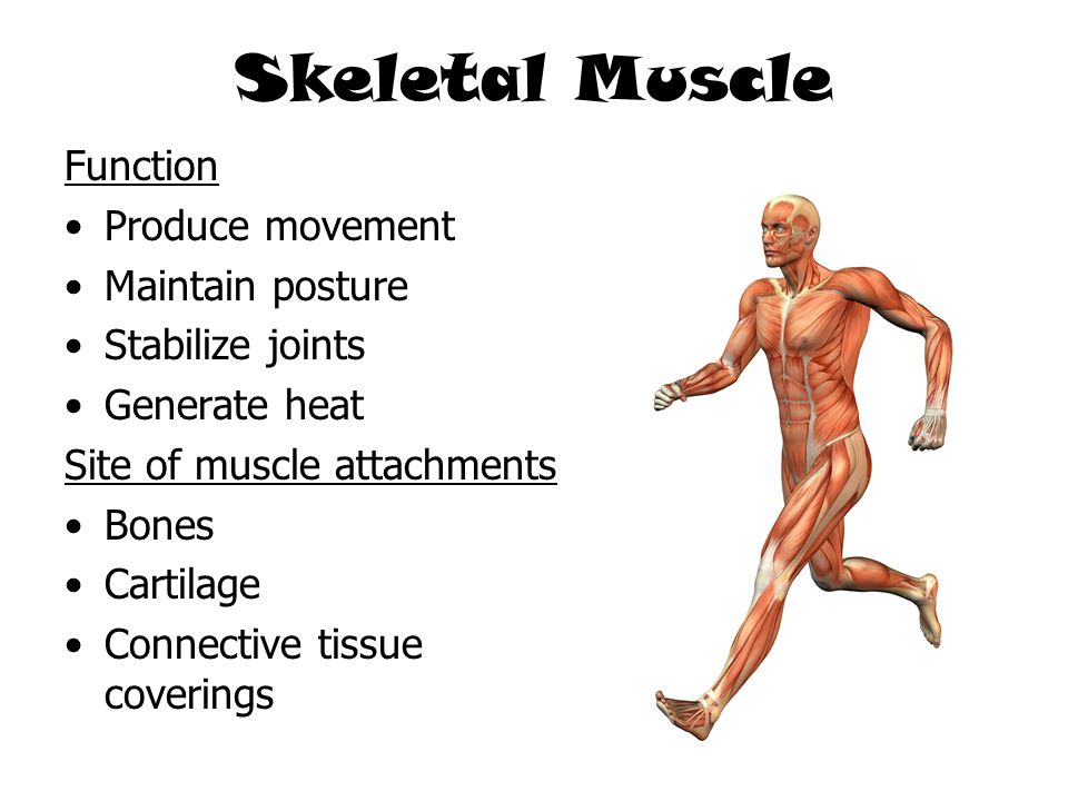 Skeletal Muscle Function Produce movement Maintain posture Stabilize joints Generate heat Site of muscle attachments Bones Cartilage Connective tissue