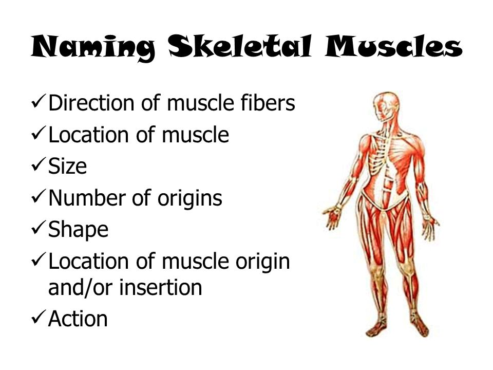 Naming Skeletal Muscles Direction of muscle fibers Location of muscle Size Number of origins Shape Location of muscle origin and/or insertion Action