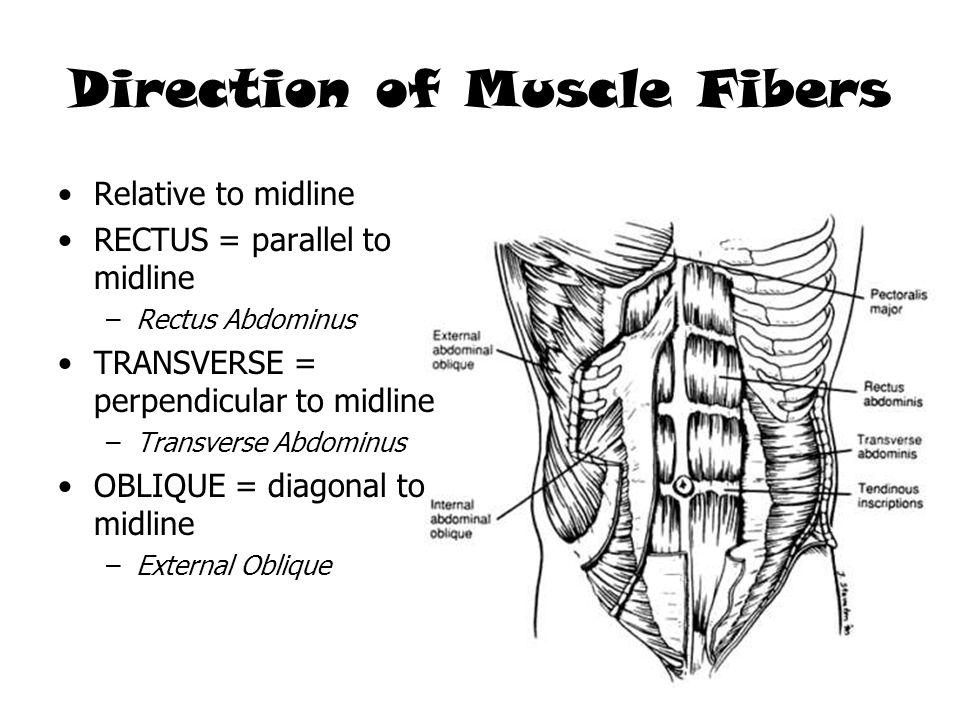 Direction of Muscle Fibers Relative to midline RECTUS = parallel to midline –Rectus Abdominus TRANSVERSE = perpendicular to midline –Transverse Abdomi