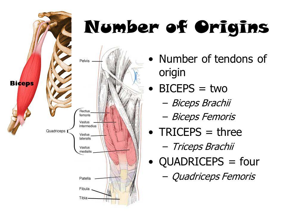 Number of tendons of origin BICEPS = two –Biceps Brachii –Biceps Femoris TRICEPS = three –Triceps Brachii QUADRICEPS = four –Quadriceps Femoris Number