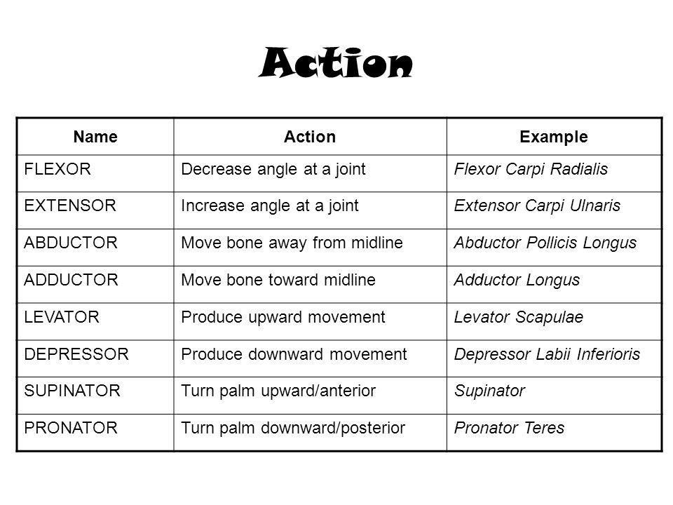 Action NameActionExample FLEXORDecrease angle at a jointFlexor Carpi Radialis EXTENSORIncrease angle at a jointExtensor Carpi Ulnaris ABDUCTORMove bon