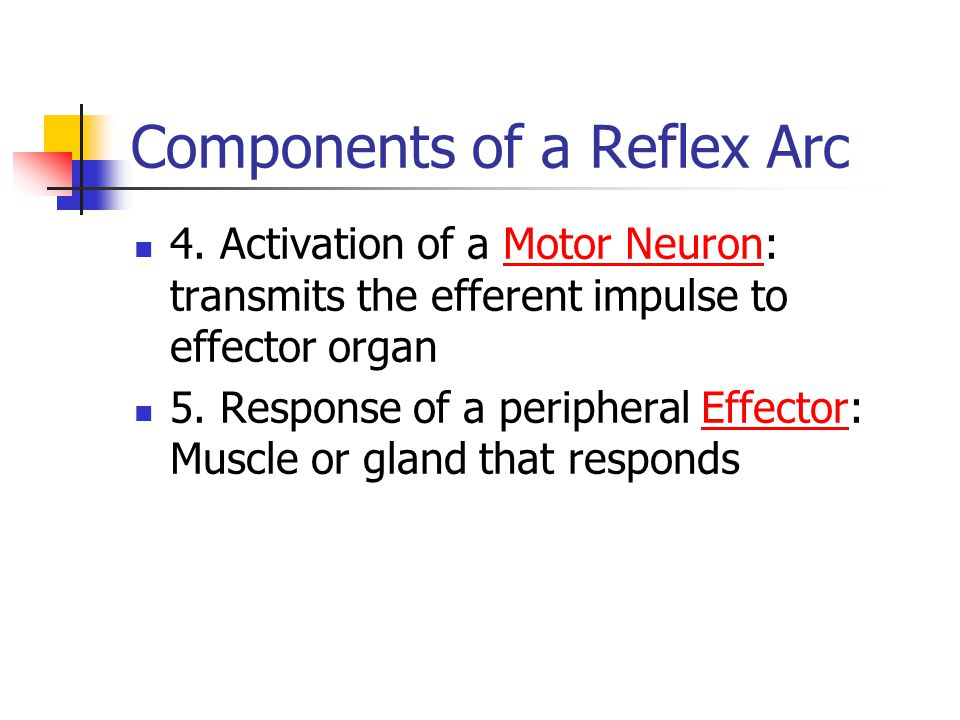 Components of a Reflex Arc 4. Activation of a Motor Neuron: transmits the efferent impulse to effector organ 5. Response of a peripheral Effector: Mus
