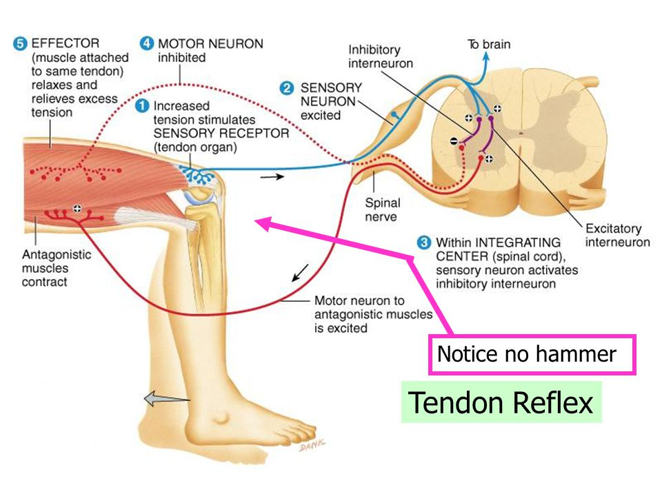 Tendon Reflex Notice no hammer