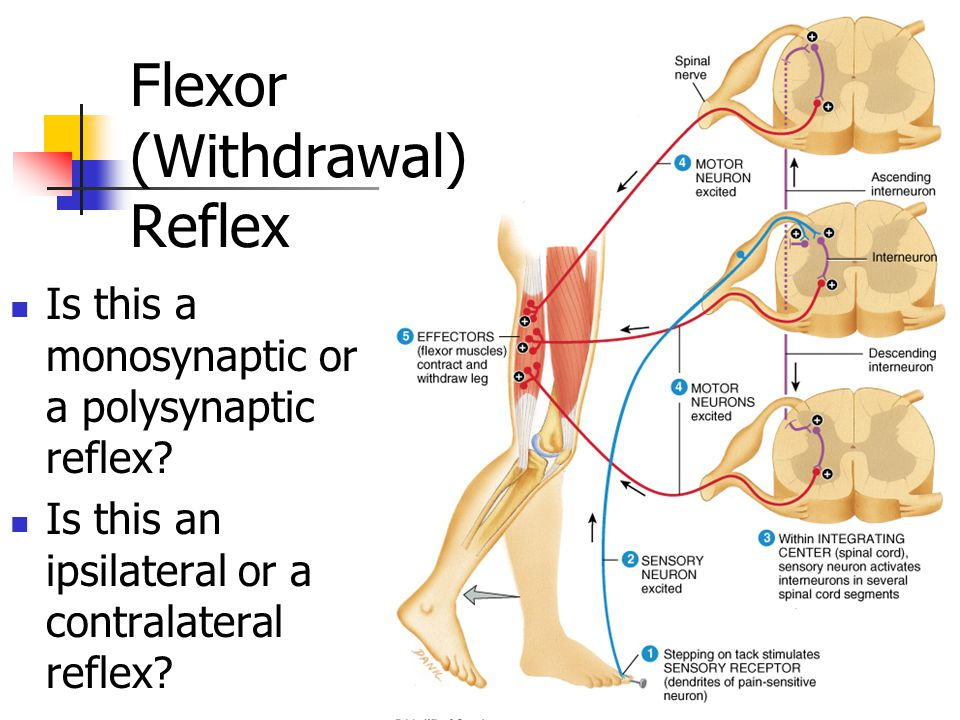 Flexor (Withdrawal) Reflex Is this a monosynaptic or a polysynaptic reflex? Is this an ipsilateral or a contralateral reflex?