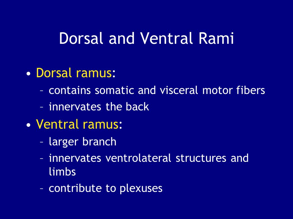 Dorsal and Ventral Rami Dorsal ramus: –contains somatic and visceral motor fibers –innervates the back Ventral ramus: –larger branch –innervates ventr