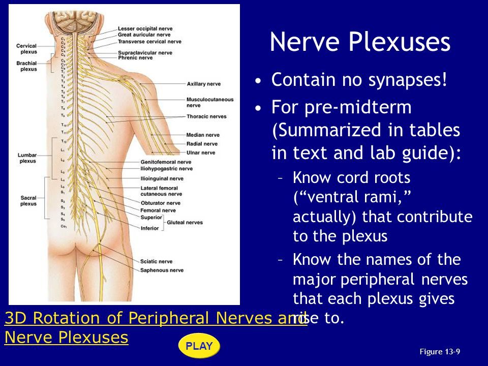 Figure 13–9 3D Rotation of Peripheral Nerves and Nerve Plexuses PLAY Nerve Plexuses Contain no synapses! For pre-midterm (Summarized in tables in text