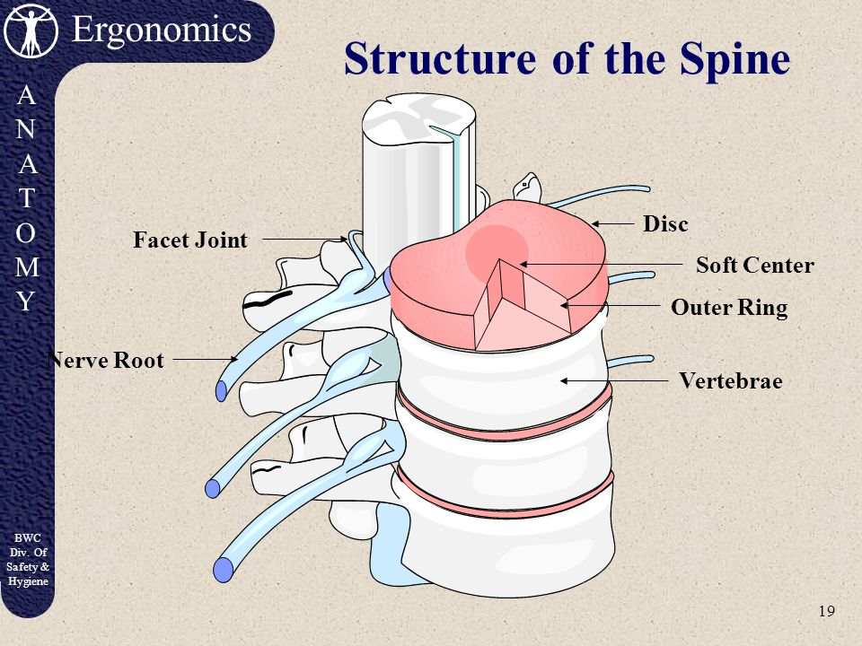 18 Ergonomics ANATOMYANATOMY BWC Div. Of Safety & Hygiene The Spine Top View Side View