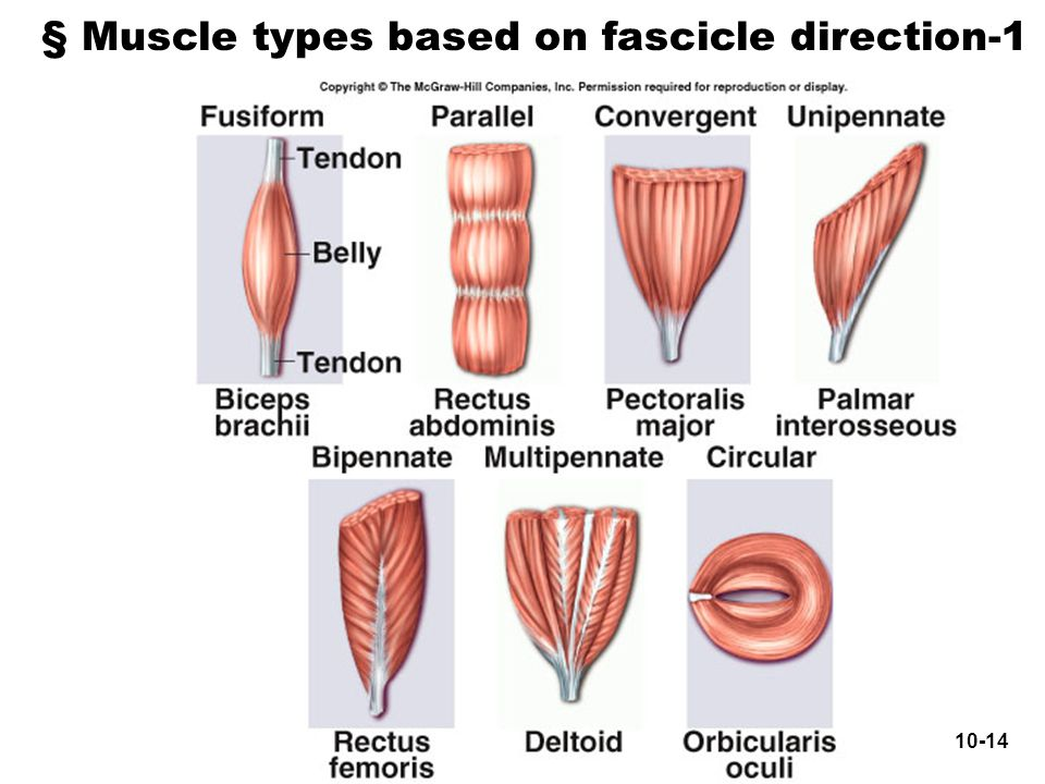 § Muscle types based on fascicle direction-1 10-14