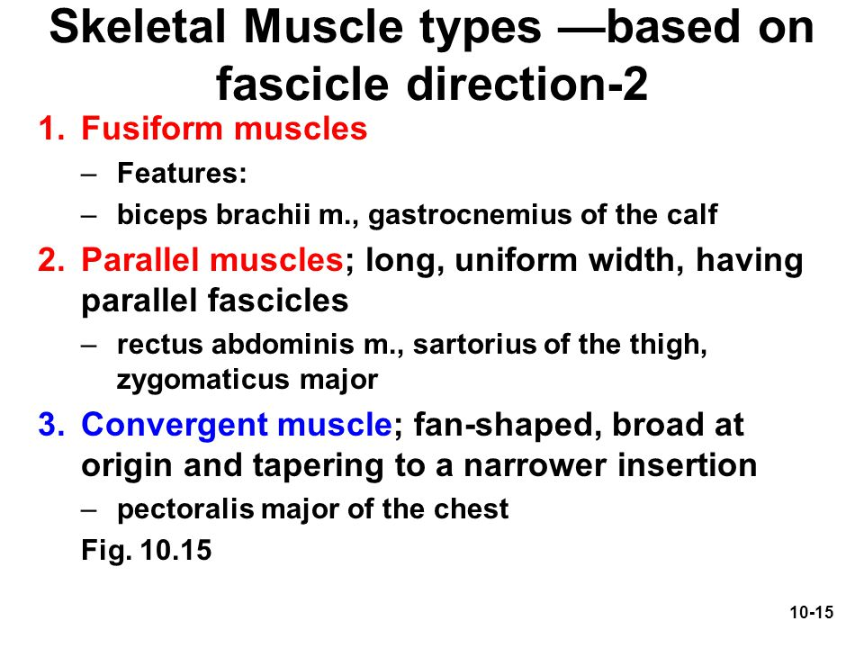 10-15 Skeletal Muscle types —based on fascicle direction-2 1.Fusiform muscles –Features: –biceps brachii m., gastrocnemius of the calf 2.Parallel musc