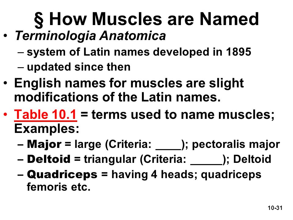 10-31 § How Muscles are Named Terminologia Anatomica –system of Latin names developed in 1895 –updated since then English names for muscles are slight
