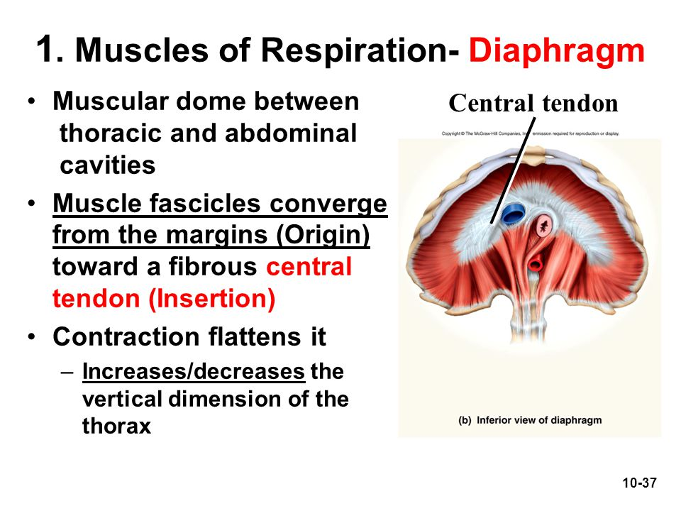 10-37 1. Muscles of Respiration- Diaphragm Muscular dome between thoracic and abdominal cavities Muscle fascicles converge from the margins (Origin) t